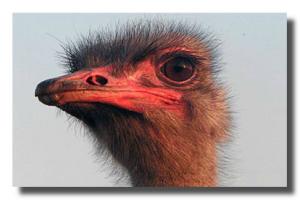 Фото с сайта о страусах